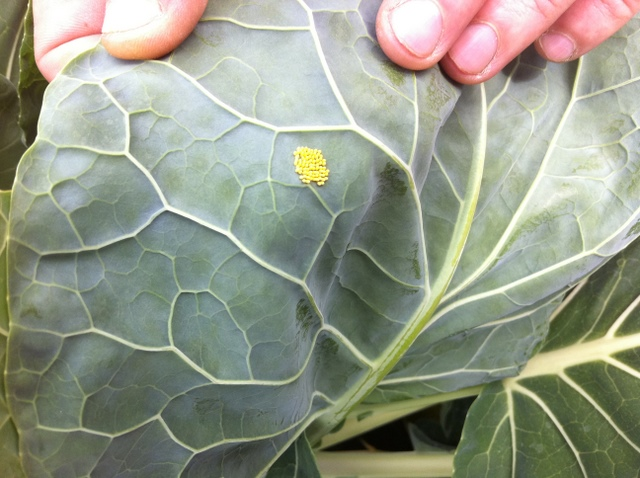 cabbage butterfly eggs