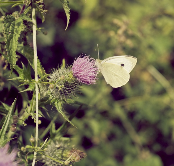 cabbage white butterfly female