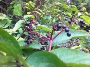 elderflower berries