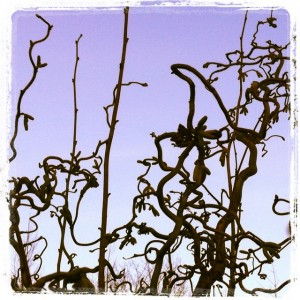 corkscrew hazel winter