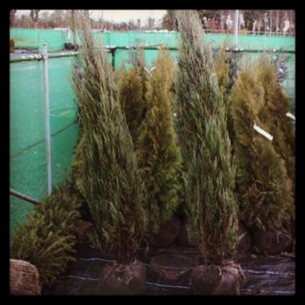 Juniperus 'Blue Arrow'