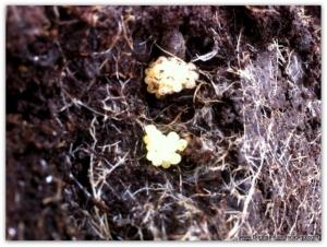 vine weevil (1)