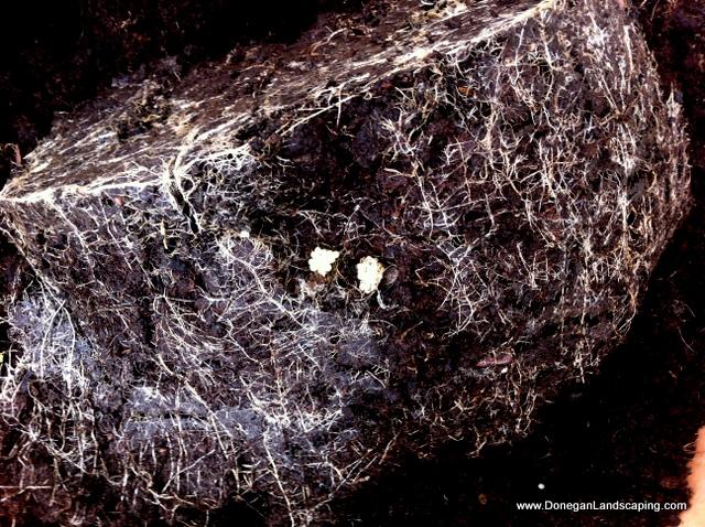 vine weevil (2)