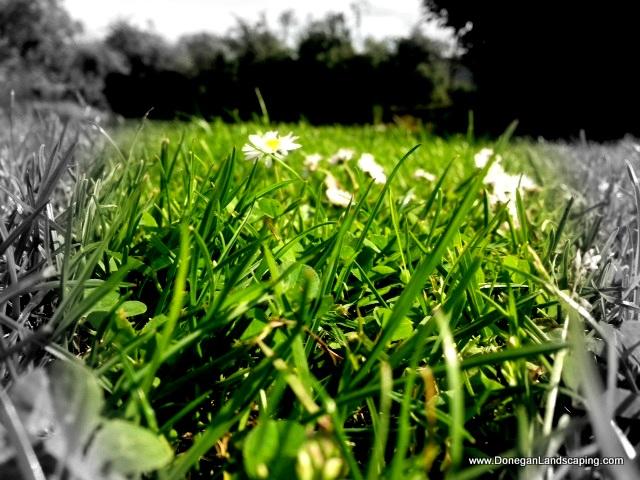 daisy lawn problem