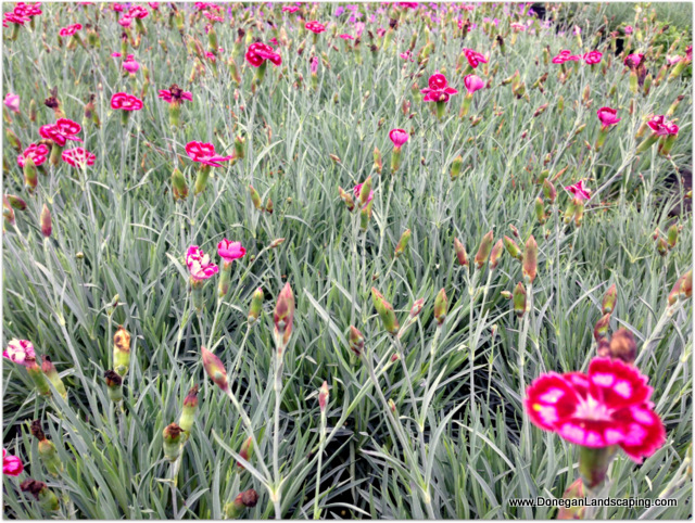 dianthus night star
