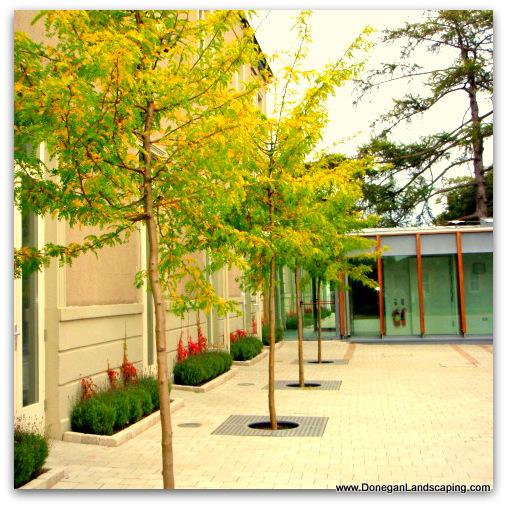 landscaping dublin, gleditsia