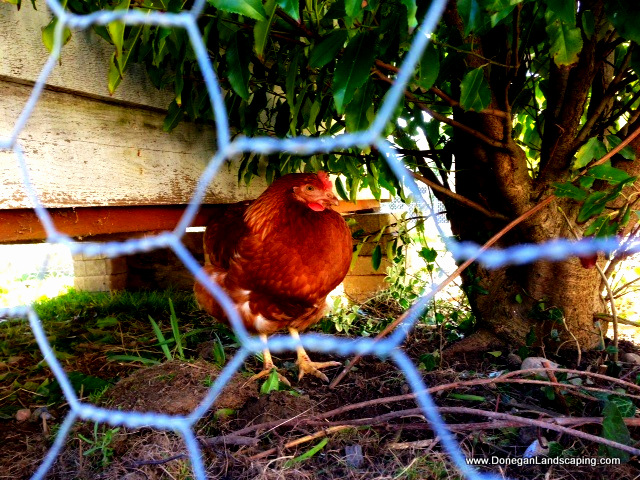 chicken run, dublin