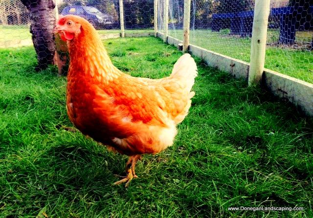 hens, landscaping, dublin
