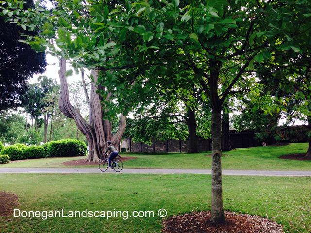 phoenix park trees (5)